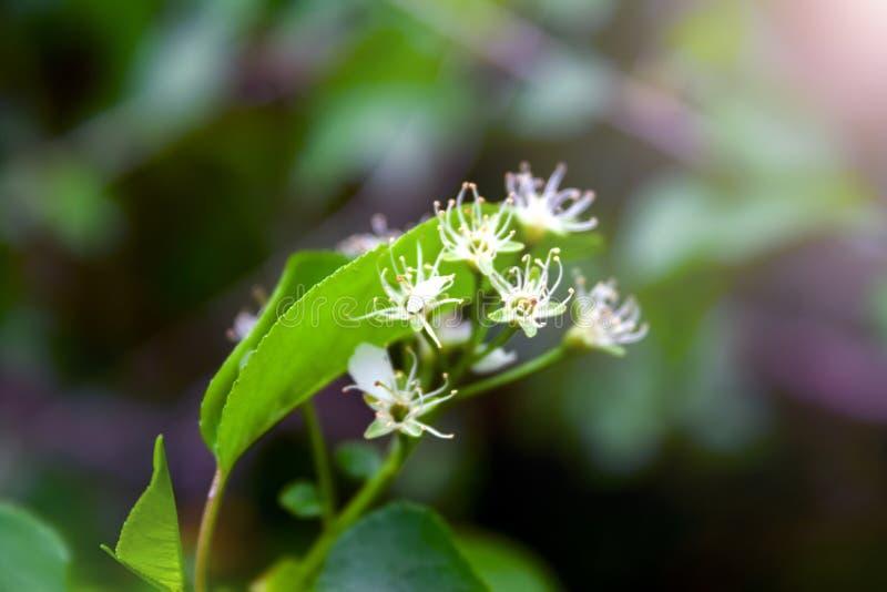 Opinião do close up da planta de florescência macia com estames finos, as pétalas brancas e as folhas verdes em um fundo escuro b imagem de stock