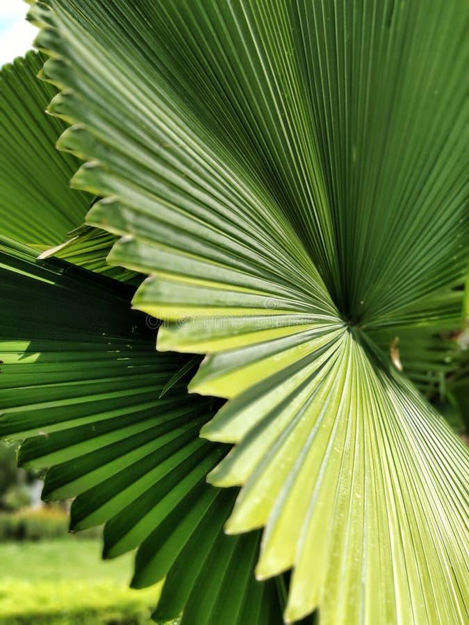 Opinião do close up das folhas verdes grandes tail?ndia foto de stock royalty free