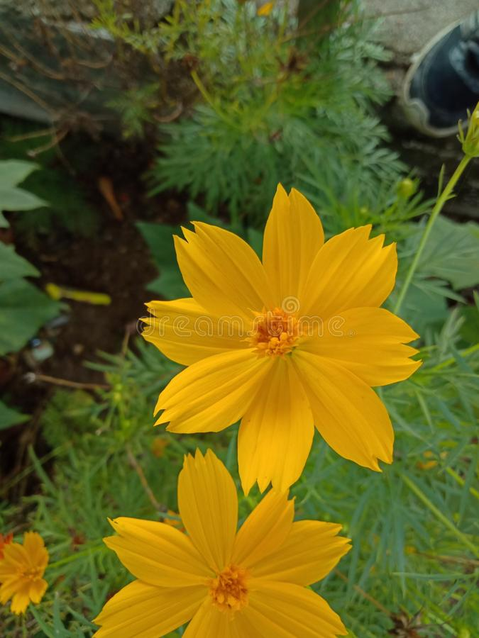 Opinião do close-up de flores alaranjadas do cosmos em um jardim fotografia de stock royalty free