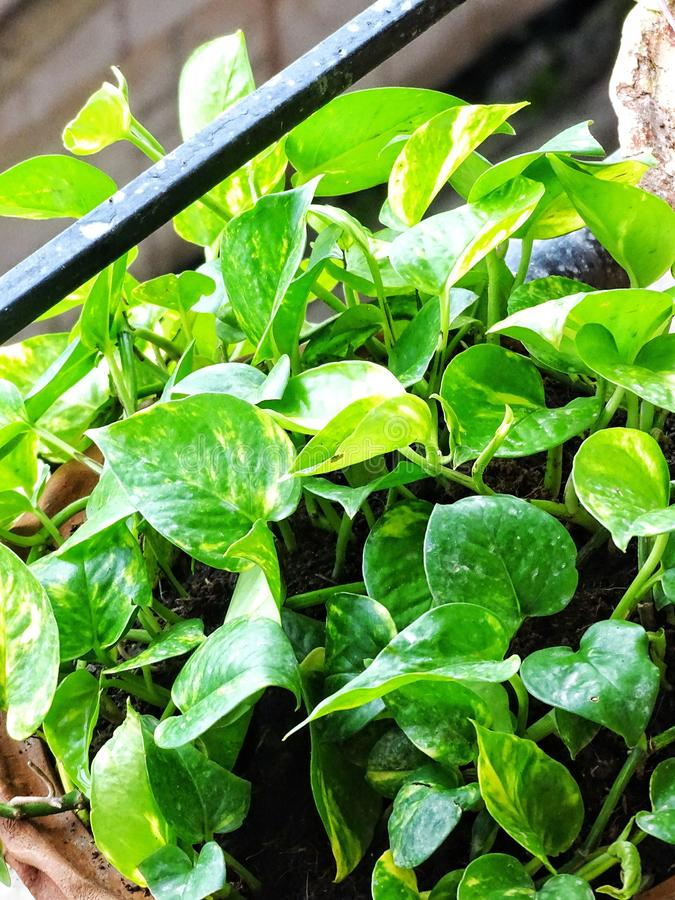 Opinião do close up de plantas verdes douradas do Pothos ou de dinheiro imagem de stock royalty free