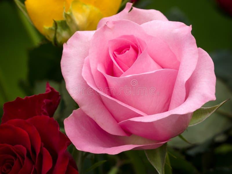 Opinião do close-up de um híbrido cor-de-rosa T Rosa imagens de stock