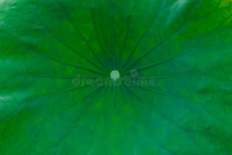 Opinião do close-up de uma folha verde dos lótus fotografia de stock