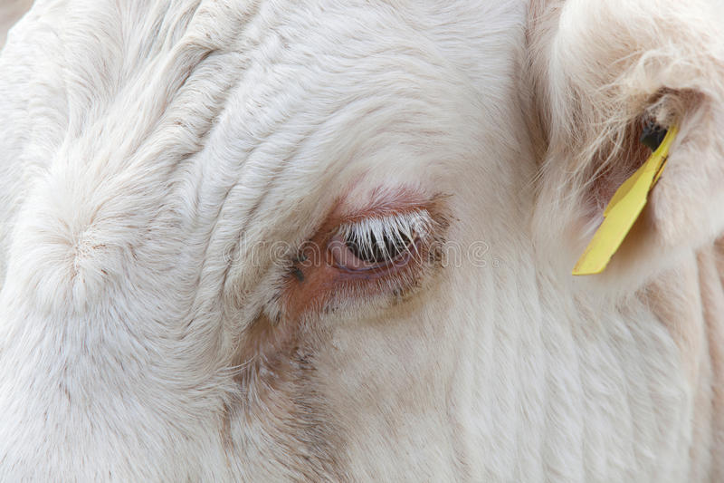 Opinião do close-up do olho de uma vaca em Essex, Reino Unido imagem de stock