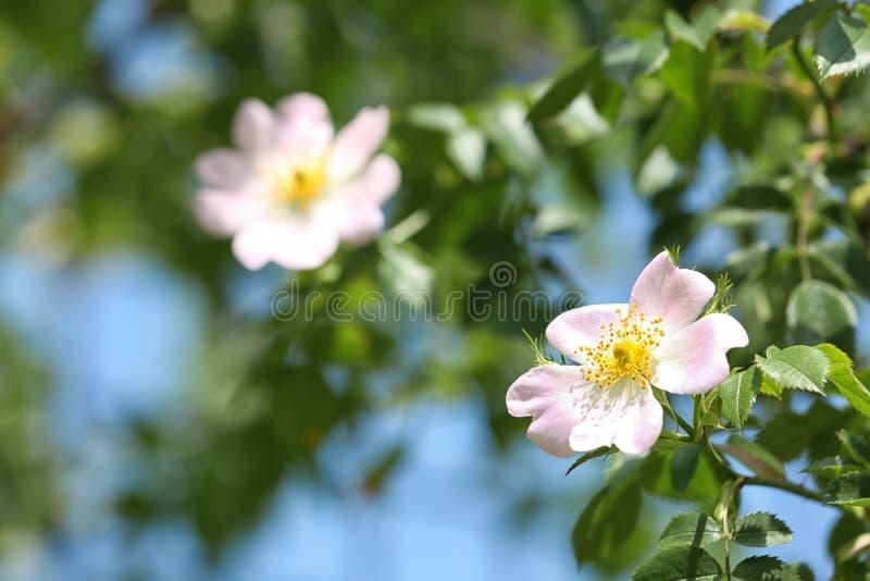 A opinião do close up o cão bonito da mola aumentou flores no jardim imagens de stock royalty free