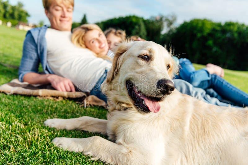 opinião do close-up o cão bonito do golden retriever e a família feliz que encontram-se na grama fotografia de stock