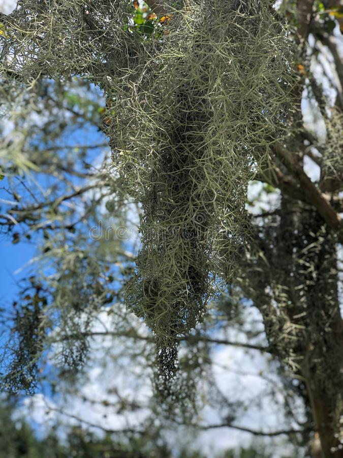 Opinião do close-up o musgo que pendura da árvore fotos de stock