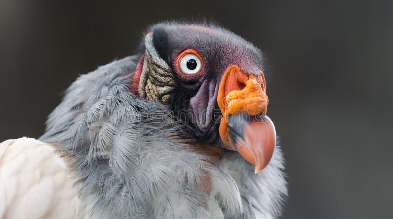 Opinião do close-up um abutre de rei foto de stock