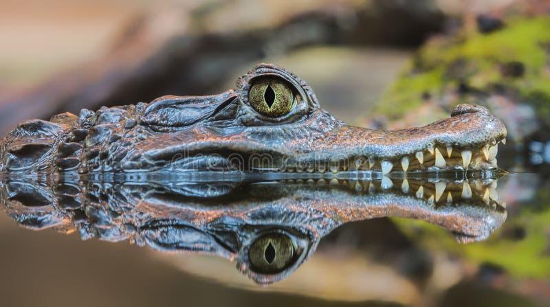 Opinião do close-up um caimão de óculos fotos de stock royalty free