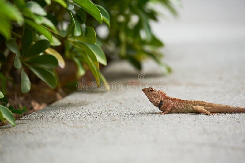 Opinião do close-up um camaleão pequeno fotografia de stock
