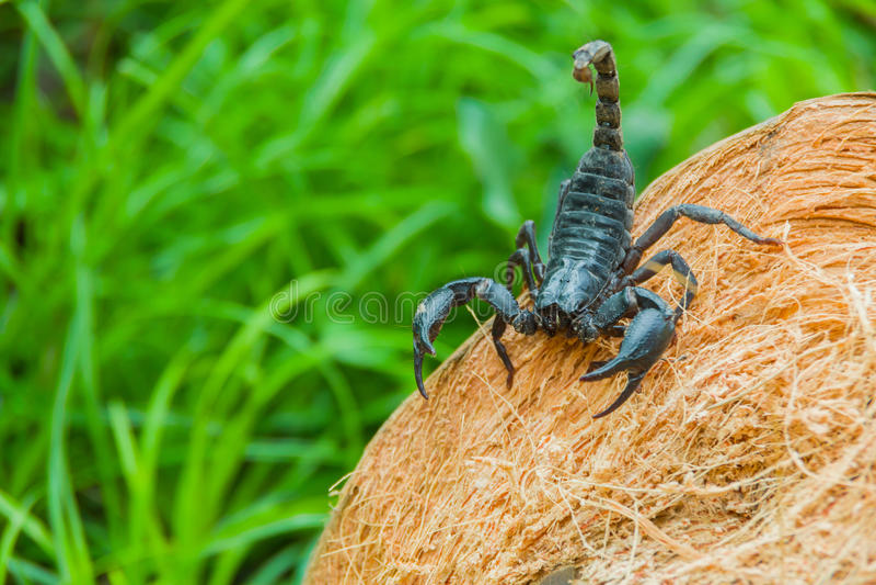 Opinião do close up um escorpião na natureza fotos de stock