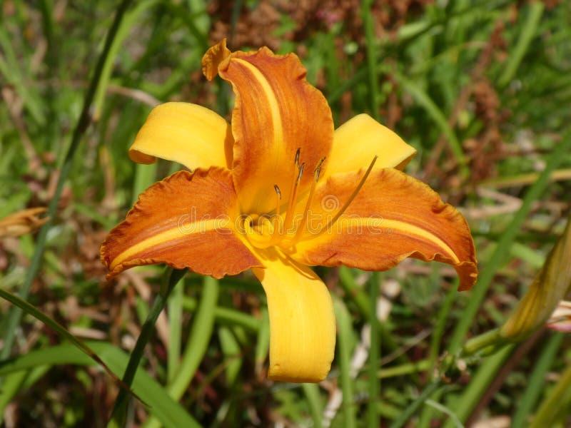 Opinião do close-up um Hemerocallis impressionante do hemerocallis de dois tons alaranjado e amarelo foto de stock