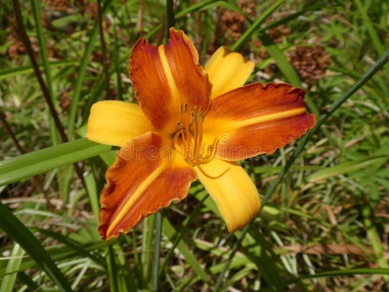 Opinião do close-up um Hemerocallis magnífico do hemerocallis de dois tons alaranjado e amarelo foto de stock