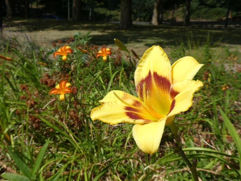 Opinião do close-up um Hemerocallis magnífico do hemerocallis de dois tons amarelo e alaranjado fotografia de stock royalty free