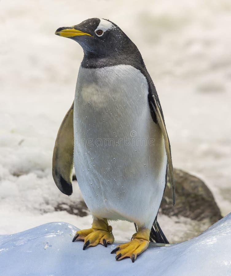 Opinião do close-up um pinguim de Gentoo foto de stock