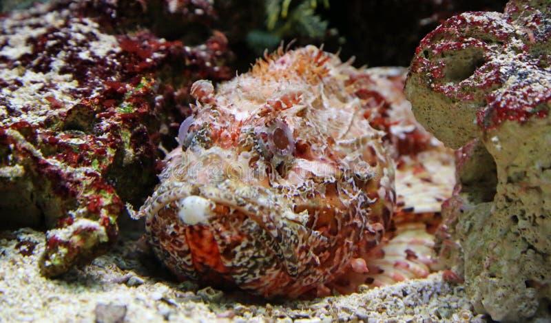 Opinião do close-up um Stonefish fotografia de stock