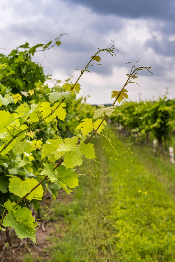 Opinião do close up a vinha com o vinhedo no fundo fotografia de stock