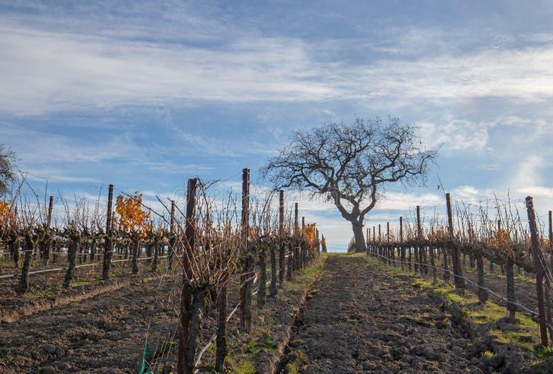 Opinião do inverno da árvore no vinhedo nos montes de Santa Barbara em Califórnia central EUA foto de stock