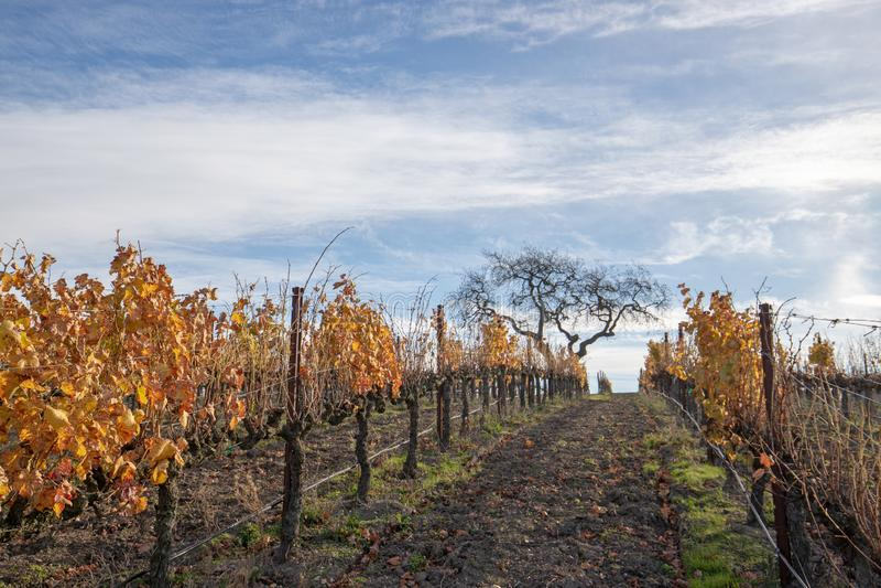 Opinião do inverno da árvore no vinhedo nos montes de Santa Barbara em Califórnia central EUA fotos de stock