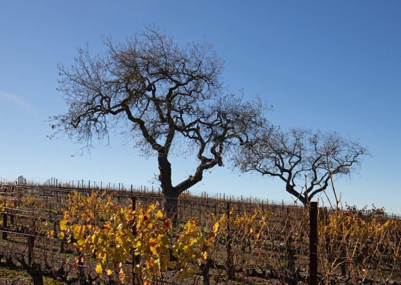 Opinião do inverno dos carvalhos no vinhedo central de Califórnia em Califórnia EUA imagens de stock