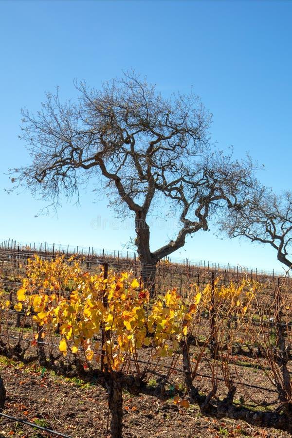 Opinião do inverno dos carvalhos no vinhedo central de Califórnia em Califórnia EUA foto de stock