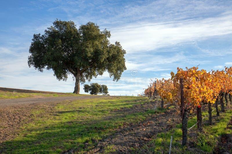 Opinião do inverno dos carvalhos no vinhedo central de Califórnia em Califórnia EUA fotografia de stock royalty free