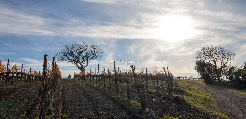 Opinião do inverno dos carvalhos no vinhedo central de Califórnia em Califórnia EUA fotos de stock royalty free