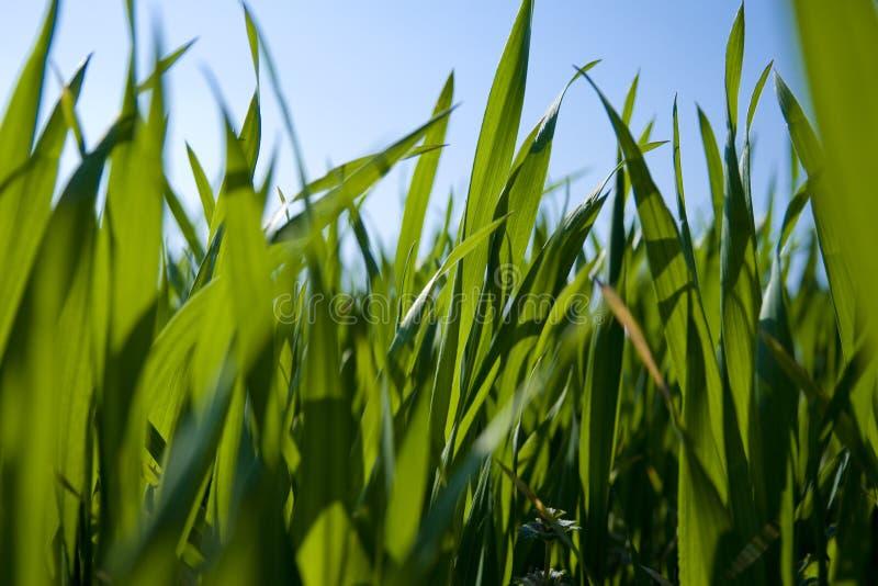 Opinião do nível do solo a grama fotografia de stock