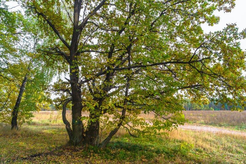 Opinião do outono de um bosque bonito do carvalho com uma mistura de árvores de Linden do álamo tremedor e do vidoeiro Verão indi foto de stock royalty free