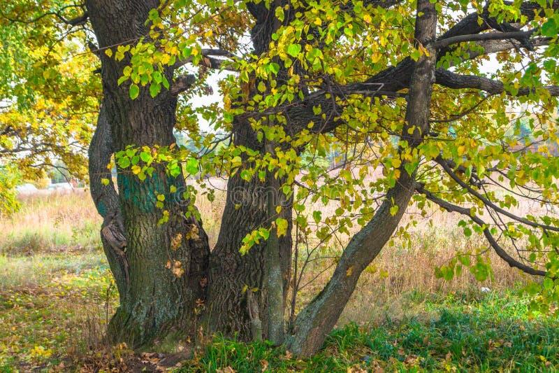 Opinião do outono de um bosque bonito do carvalho com uma mistura de árvores de Linden do álamo tremedor e do vidoeiro Verão indi imagens de stock