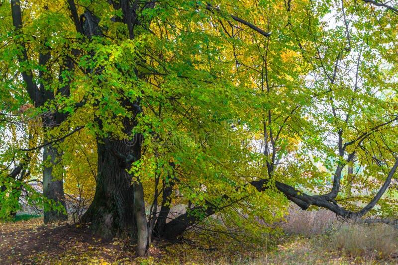 Opinião do outono de um bosque bonito do carvalho com uma mistura de árvores de Linden do álamo tremedor e do vidoeiro Verão indi fotografia de stock