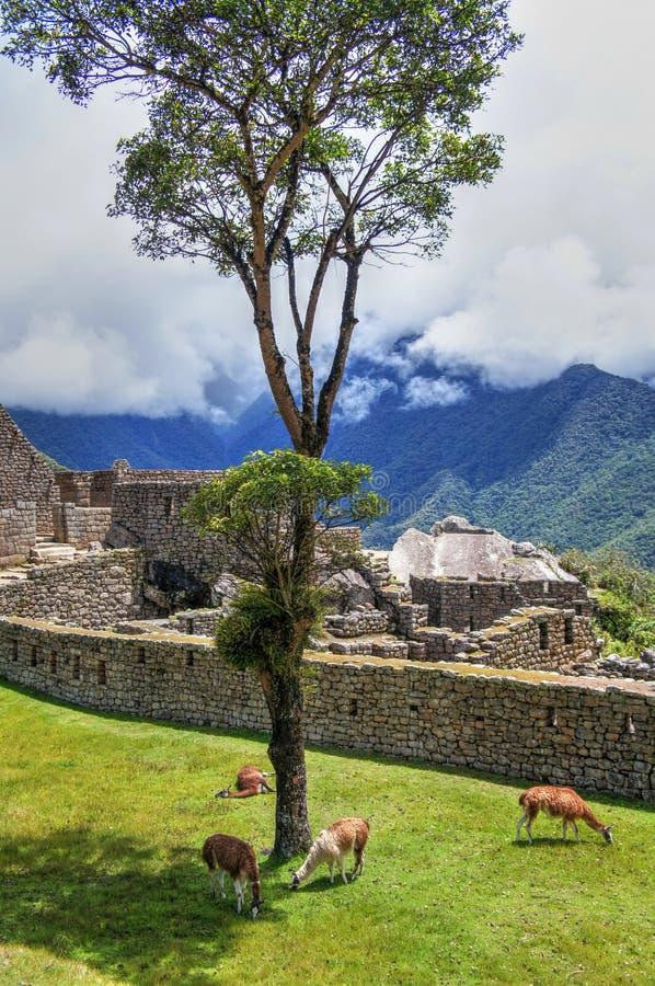 Opinião do panorama de Machu Picchu às ruínas com lamas fotografia de stock