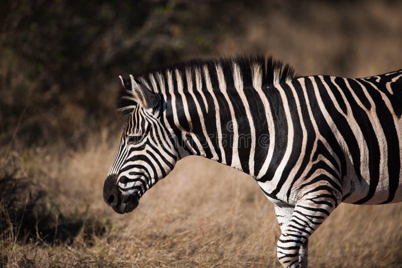 Opinião do perfil da ZEBRA das PLANÍCIES (quagga do Equus) fotos de stock