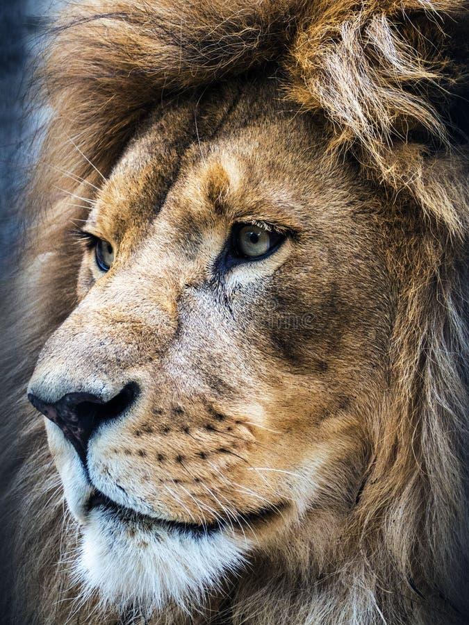 Opinião do retrato do perfil do ` s do leão do direito foto de stock