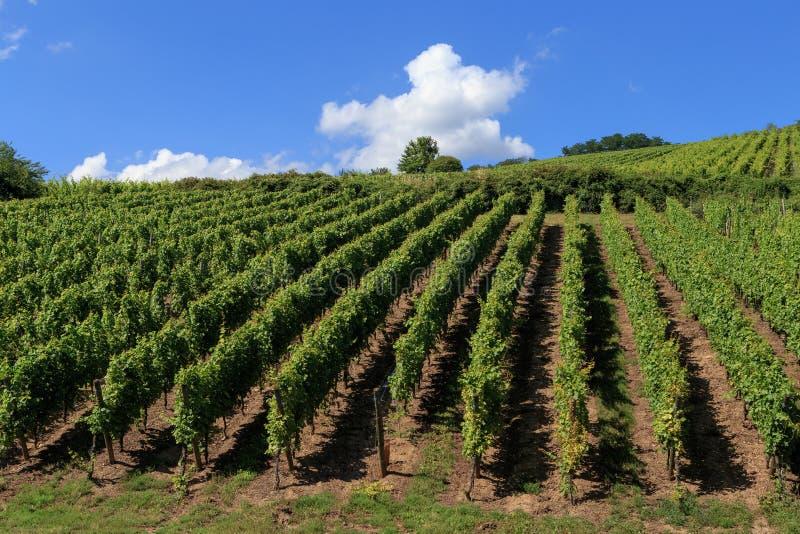 Opinião espetacular do verão dos vinhedos em torno da estrada do vinho de Alsácia perto de Riquewihr, França oriental fotos de stock royalty free