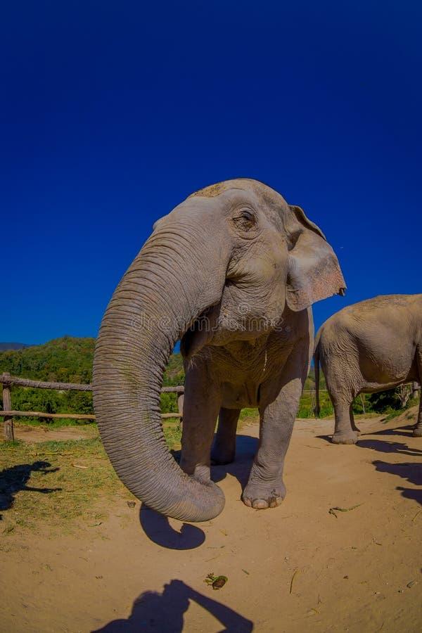 Opinião exterior lindo o elefante enorme bonito em um dia ensolarado lindo com o céu azul que estica o tronco que pede imagem de stock royalty free