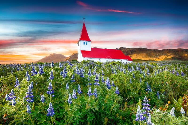 Opinião fantástica do por do sol da igreja cristã de Vikurkirkja em flores lupine de florescência imagem de stock royalty free