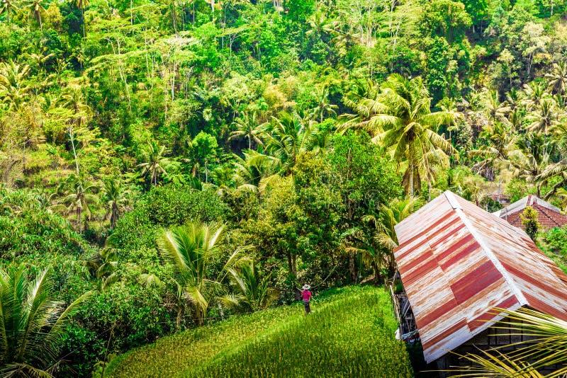 Opinião a floresta e as colheitas em Gunung Kawi em Bali, Indonésia foto de stock