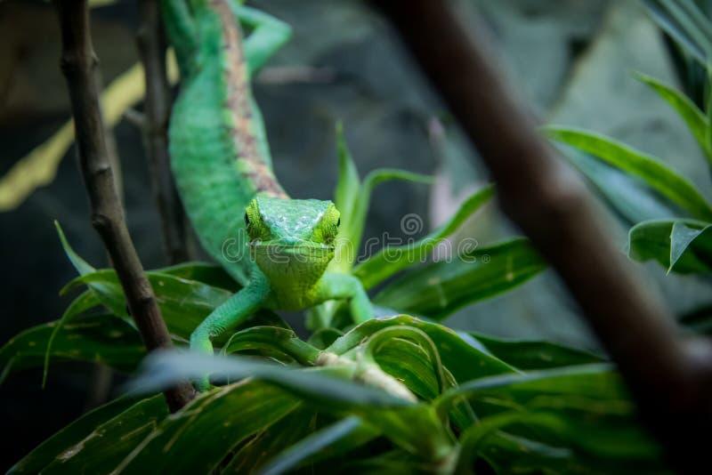 Opinião frontal de lagarto verde - lagarto verde em uma gaiola - gutturosus do ` s Bush Anole Polychrus de Berthold fotografia de stock