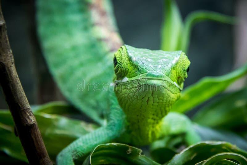 Opinião frontal de lagarto verde - lagarto verde em uma gaiola - gutturosus do ` s Bush Anole Polychrus de Berthold fotografia de stock royalty free