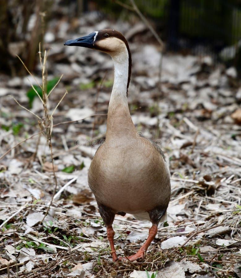 Opinião frontal uma cisne do ganso fotografia de stock