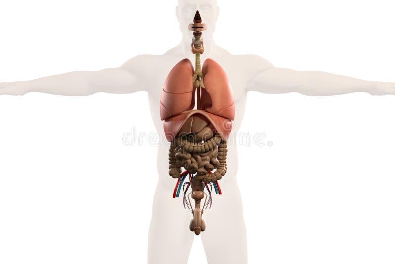 Opinião humana do raio X da anatomia dos intestinos, no whit liso ilustração royalty free