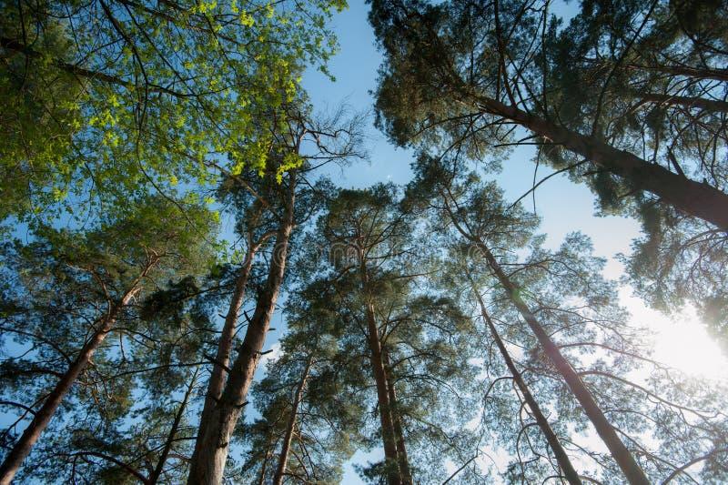Opinião inferior dos pinheiros imagem de stock