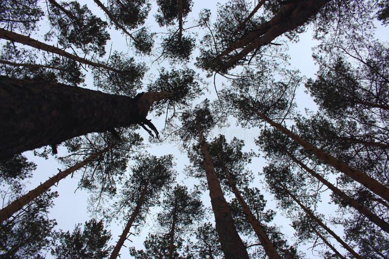 Opinião inferior dos troncos do pinho Opinião inferior das silhuetas dos pinheiros Paisagem da floresta do inverno foto de stock royalty free