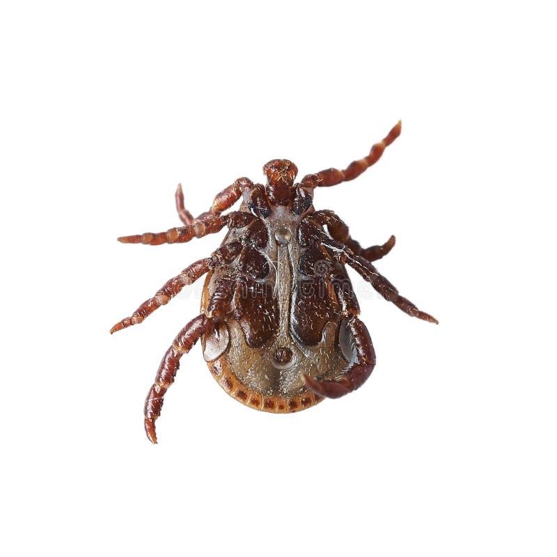 Opinião inferior um ácaro masculino isolado no branco sem sombras Foto macro foto de stock