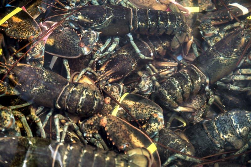 Opinião lagostas vivas no tanque imagem de stock royalty free
