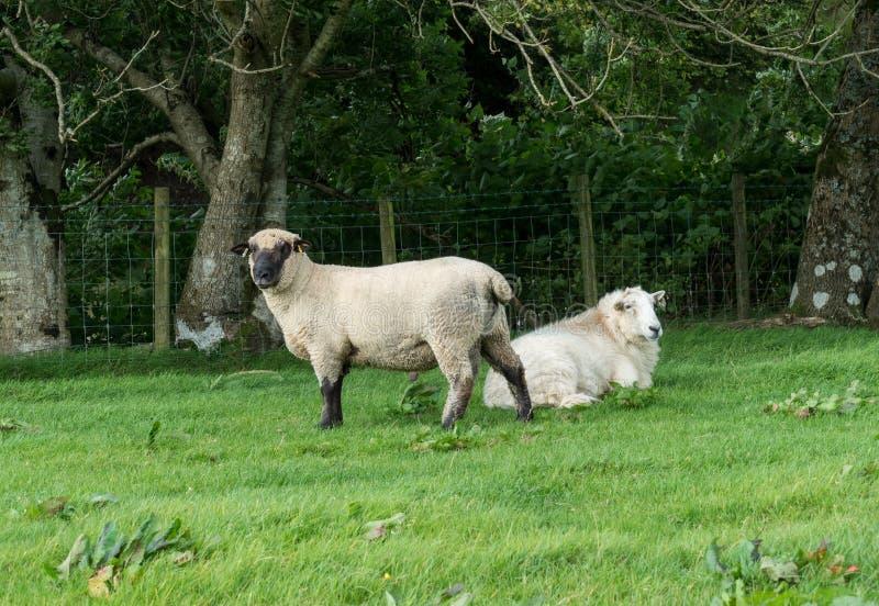 Opinião lateral carneiros de Shropshire no prado imagens de stock