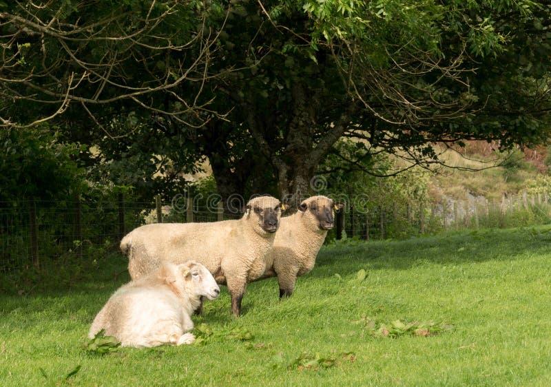 Opinião lateral carneiros de Shropshire no prado fotografia de stock royalty free