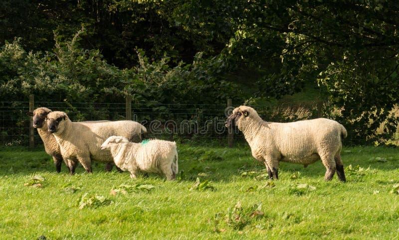 Opinião lateral carneiros de Shropshire no prado fotos de stock royalty free