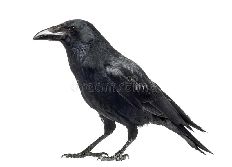 Opinião lateral Carrion Crow, corone do Corvus, isolado fotografia de stock