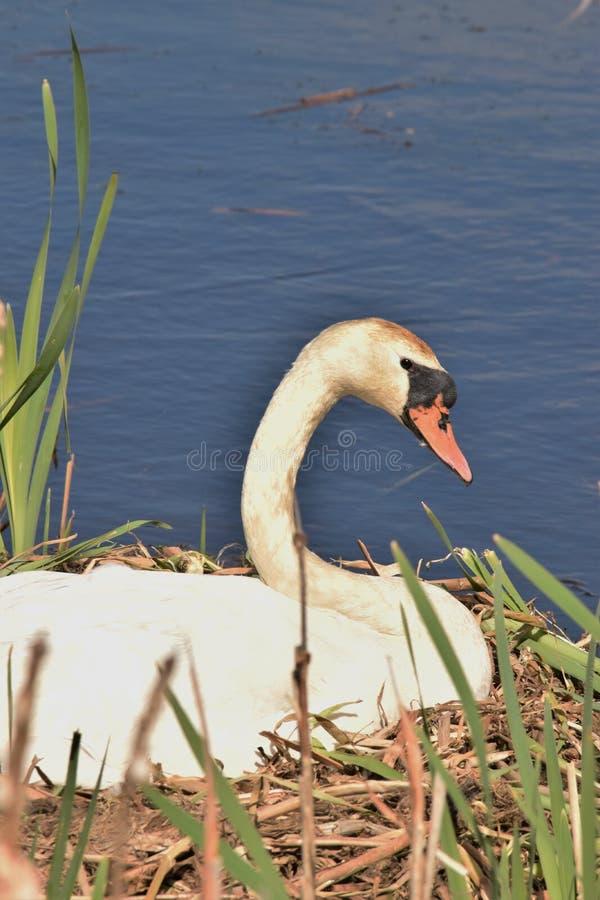 Opinião lateral a cisne que senta-se em ovos de espera do ninho para chocar foto de stock
